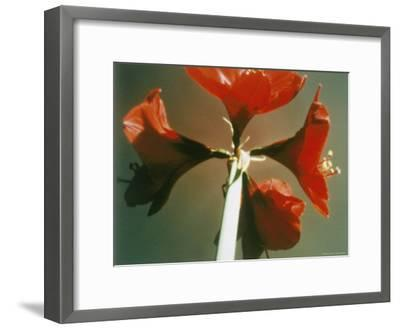 A Close-up of a Four Red Blossoms-Sisse Brimberg-Framed Photographic Print