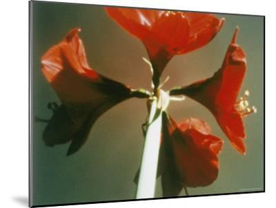 A Close-up of a Four Red Blossoms-Sisse Brimberg-Mounted Photographic Print