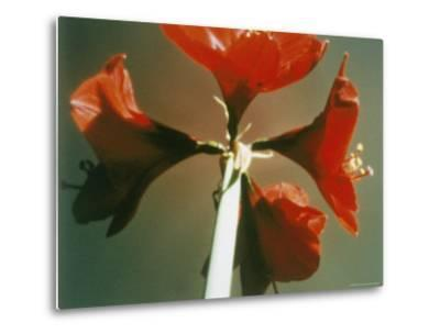 A Close-up of a Four Red Blossoms-Sisse Brimberg-Metal Print