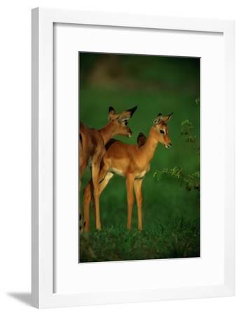 A Female Impala and Her Youngster with an Oxpecker Bird on its Back-Beverly Joubert-Framed Premium Photographic Print