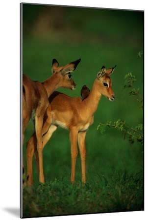 A Female Impala and Her Youngster with an Oxpecker Bird on its Back-Beverly Joubert-Mounted Premium Photographic Print