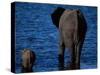 A Swimming African Elephant-Beverly Joubert-Stretched Canvas Print