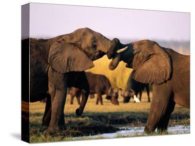 African Elephants with Trunks Entwined-Beverly Joubert-Stretched Canvas Print