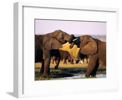African Elephants with Trunks Entwined-Beverly Joubert-Framed Photographic Print