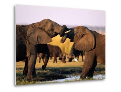 African Elephants with Trunks Entwined-Beverly Joubert-Metal Print