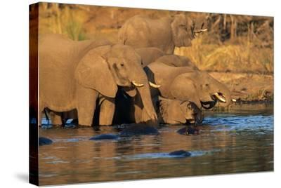 African Elephants Drinking at a Water Hole-Beverly Joubert-Stretched Canvas Print