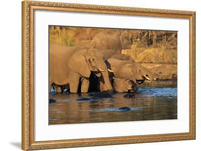 African Elephants Drinking at a Water Hole-Beverly Joubert-Framed Photographic Print