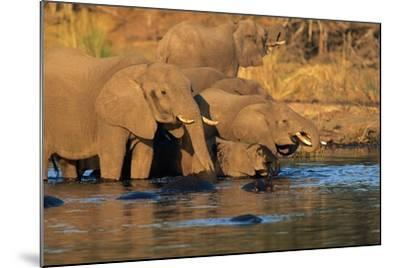 African Elephants Drinking at a Water Hole-Beverly Joubert-Mounted Photographic Print