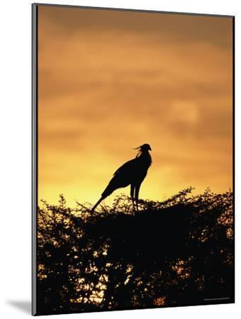 A Secretary Bird on Her Nest-Beverly Joubert-Mounted Photographic Print