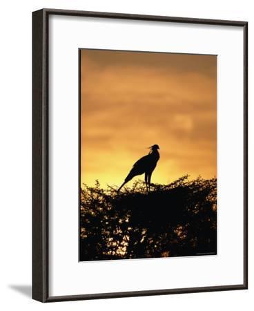 A Secretary Bird on Her Nest-Beverly Joubert-Framed Photographic Print