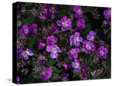 Close View of Purple Wildflowers-Mattias Klum-Stretched Canvas Print