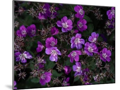 Close View of Purple Wildflowers-Mattias Klum-Mounted Photographic Print