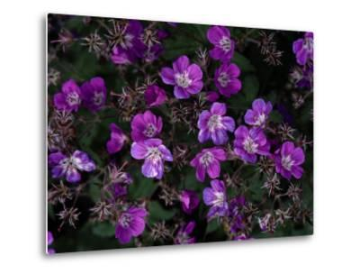 Close View of Purple Wildflowers-Mattias Klum-Metal Print