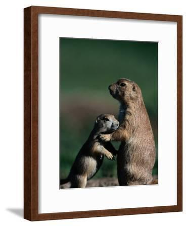 Black-Tailed Prairie Dogs (Cynomys Ludovicianus)-Raymond Gehman-Framed Photographic Print