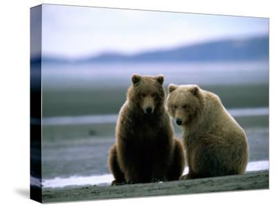 Grizzly Bear Cubs Pose for the Camera-Joel Sartore-Stretched Canvas Print