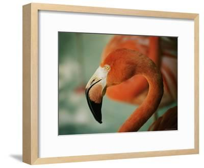 A Close View of the Curved Neck and Beak of a Pink Flamingo-Stephen St^ John-Framed Photographic Print