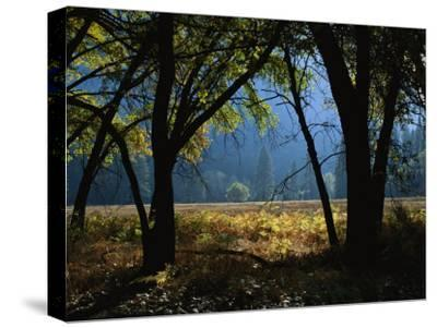 Black Oak Trees Near a Meadow in Yosemite National Park-Marc Moritsch-Stretched Canvas Print