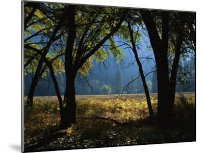 Black Oak Trees Near a Meadow in Yosemite National Park-Marc Moritsch-Mounted Photographic Print