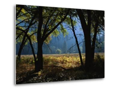 Black Oak Trees Near a Meadow in Yosemite National Park-Marc Moritsch-Metal Print