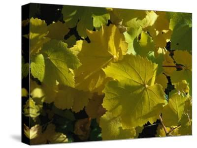California Wild Grape Leaves (Vitis Californica)-Marc Moritsch-Stretched Canvas Print