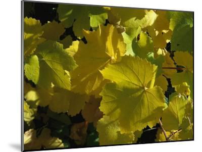 California Wild Grape Leaves (Vitis Californica)-Marc Moritsch-Mounted Photographic Print