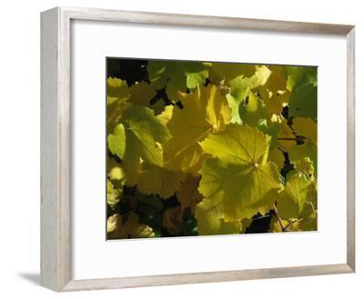 California Wild Grape Leaves (Vitis Californica)-Marc Moritsch-Framed Photographic Print