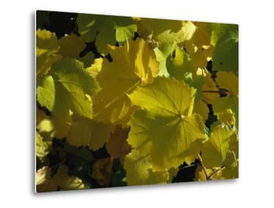 California Wild Grape Leaves (Vitis Californica)-Marc Moritsch-Metal Print