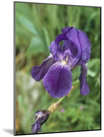 Close View of an Iris-Nicole Duplaix-Mounted Photographic Print