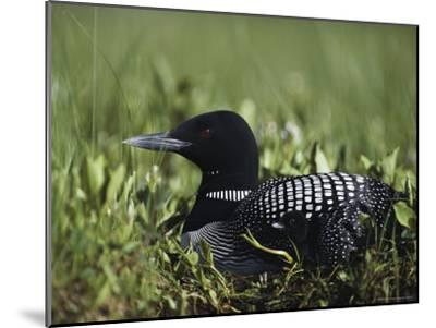 An Common Loon in Breeding Colors on its Nest with a Day-Old Chick-Michael S^ Quinton-Mounted Photographic Print
