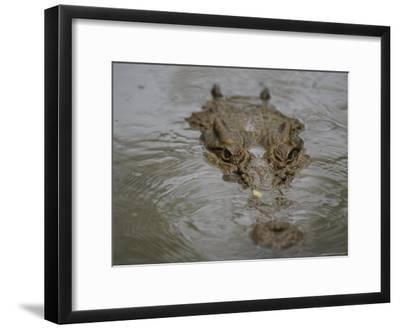 A Partially Submerged Saltwater Crocodile-Nicole Duplaix-Framed Photographic Print