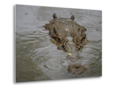 A Partially Submerged Saltwater Crocodile-Nicole Duplaix-Metal Print