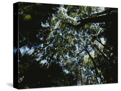 View Looking up into the Forest Canopy-Nicole Duplaix-Stretched Canvas Print