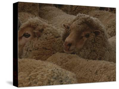 A Group of Sheep Wait to Be Shorn-Nicole Duplaix-Stretched Canvas Print