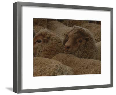 A Group of Sheep Wait to Be Shorn-Nicole Duplaix-Framed Photographic Print