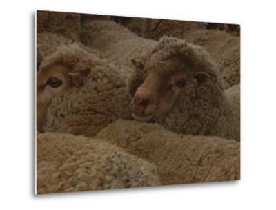 A Group of Sheep Wait to Be Shorn-Nicole Duplaix-Metal Print