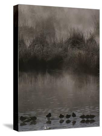 Wading Marsh Birds in Early Morning Fog, Grand Teton National Park-Raymond Gehman-Stretched Canvas Print