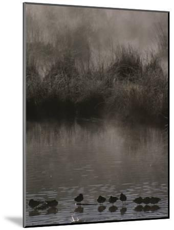 Wading Marsh Birds in Early Morning Fog, Grand Teton National Park-Raymond Gehman-Mounted Photographic Print