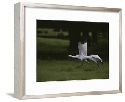 Whooping Cranes in Saint Cloud, Where They are Being Reintroduced-Randy Olson-Framed Photographic Print
