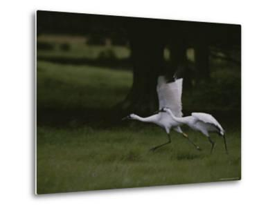 Whooping Cranes in Saint Cloud, Where They are Being Reintroduced-Randy Olson-Metal Print