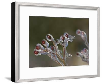 Close View of Frozen Red Berries on the Tips of a Branch-George F^ Mobley-Framed Photographic Print