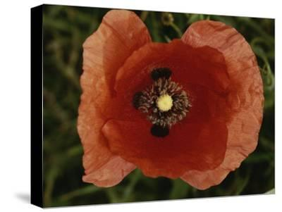 Close View of a Poppy-Nicole Duplaix-Stretched Canvas Print