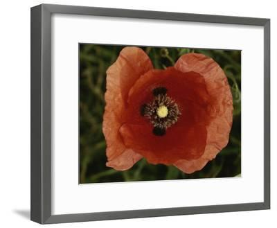 Close View of a Poppy-Nicole Duplaix-Framed Photographic Print