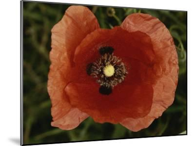 Close View of a Poppy-Nicole Duplaix-Mounted Photographic Print