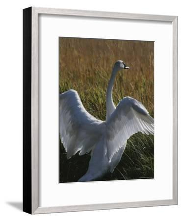 A Trumpeter Swan Stretches His Wings Amid a Field of Tall Grasses-Michael Melford-Framed Photographic Print