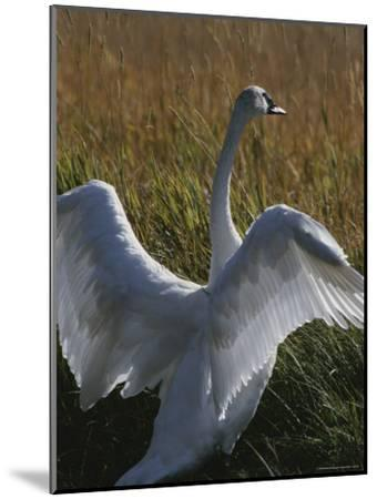 A Trumpeter Swan Stretches His Wings Amid a Field of Tall Grasses-Michael Melford-Mounted Photographic Print