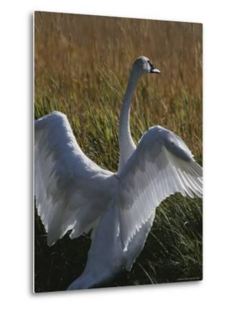 A Trumpeter Swan Stretches His Wings Amid a Field of Tall Grasses-Michael Melford-Metal Print