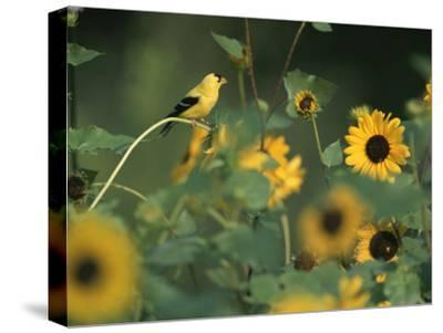 A Male American Goldfinch Sits on a Sunflower Eating Seeds-Taylor S^ Kennedy-Stretched Canvas Print