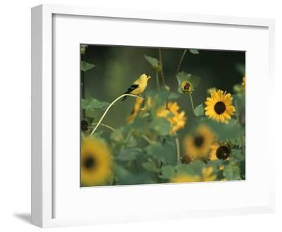 A Male American Goldfinch Sits on a Sunflower Eating Seeds-Taylor S^ Kennedy-Framed Photographic Print