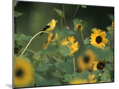 A Male American Goldfinch Sits on a Sunflower Eating Seeds-Taylor S^ Kennedy-Mounted Photographic Print