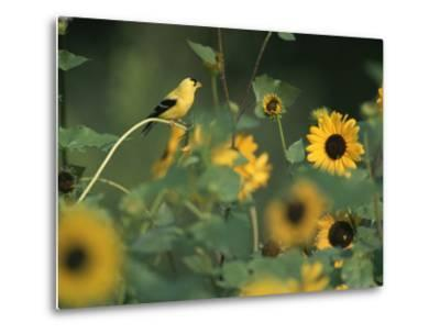A Male American Goldfinch Sits on a Sunflower Eating Seeds-Taylor S^ Kennedy-Metal Print
